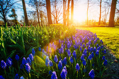 kwitnie Holland Fotografia Stock