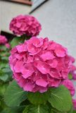 Kwitnie hortensja krzak Zdjęcie Royalty Free