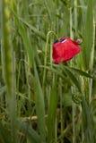 Kwitnie i trzony z pączkami czerwoni maczki Ślimaczek na liściu banatka dewar zdjęcie royalty free