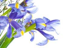 kwitnie irysów purpur wiosna zdjęcie royalty free