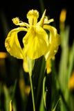 kwitnie irysowego kolor żółty Zdjęcie Royalty Free