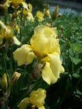 kwitnie irysowego kolor żółty Zdjęcie Stock