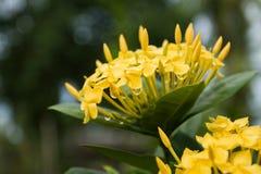 kwitnie ixora kolor żółty zdjęcie royalty free