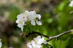 Kwitnie jabłoni gałąź, pszczoła zbiera nektar Fotografia Royalty Free