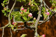 Kwitnie jabłoni w góry wiosce przy wiosną Obraz Royalty Free