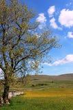 Kwitnie (jaskieru) łąkę, North Yorkshire Fotografia Stock