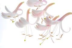 kwitnie jasmin miękką część Zdjęcia Royalty Free