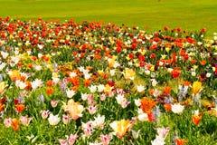Kwitnie ??k? z tulipanami, daffodils i daffodils, obrazy royalty free