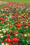 Kwitnie ??k? z tulipanami, daffodils i daffodils, obraz royalty free