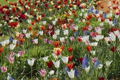 Kwitnie ??k? z tulipanami, daffodils i daffodils, fotografia royalty free