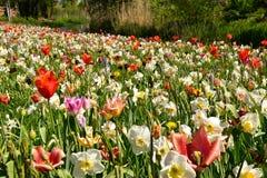 Kwitnie ??k? z tulipanami, daffodils i daffodils, zdjęcie royalty free
