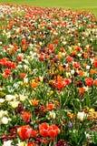 Kwitnie ??k? z tulipanami, daffodils i daffodils, obraz stock