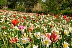 Kwitnie ??k? z tulipanami, daffodils i daffodils, fotografia stock