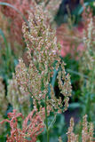 Kwitnie kobylaka z selekcyjnym skupiającym się na plamy tle Obrazy Royalty Free