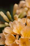kwitnie kolor żółty Zdjęcie Royalty Free