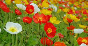 kwitnie kolorową polerującą wiosna Obraz Stock
