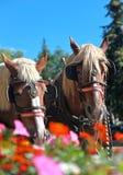 kwitnie konia Zdjęcie Stock