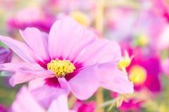 Kwitnie kosmos kolorowego w parku, kwitnie kolorowego z sunli, Zdjęcia Royalty Free