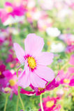Kwitnie kosmos kolorowego w parku, kwitnie kolorowego z sunli, Obrazy Stock