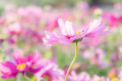 Kwitnie kosmos kolorowego w parku, kwitnie kolorowego z sunli, Obraz Royalty Free
