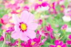 Kwitnie kosmos kolorowego w parku, kwitnie kolorowego z sunli, Fotografia Royalty Free