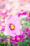 Kwitnie kosmos kolorowego w parku, kwitnie kolorowego z sunli, Obraz Stock