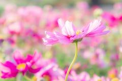 Kwitnie kosmos kolorowego w parku, kwitnie kolorowego z sunli, Obrazy Royalty Free