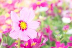 Kwitnie kosmos kolorowego w parku, kwitnie kolorowego z sunli, Fotografia Stock