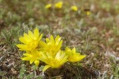 kwitnie ??kow? wiosna Adonis vernalis, zna? r zdjęcie stock