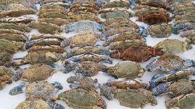 Kwitnie kraba, Błękitny krab, Błękitny pływaczka krab, Błękitny manna krab, piasek Zdjęcie Royalty Free