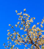 Kwitnie krzak Fotografia Stock