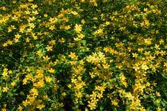 Kwitnie krzaka Kerria japonica Obrazy Royalty Free