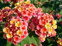 kwitnie lantana Zdjęcie Royalty Free