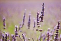 kwitnie lawendowe purpury Zdjęcia Royalty Free