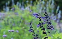 kwitnie lawendowe purpury zdjęcie stock