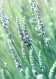 kwitnie lawendowego biel fotografia stock
