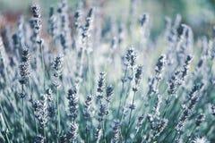 kwitnie lawendowego macro Elegancki, zabarwiający kwiecisty tło, zdjęcia stock
