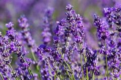 kwitnie lawendy Fotografia Stock
