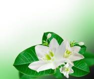 kwitnie leluja biel zdjęcia stock