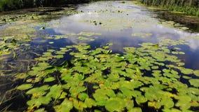 Kwitnie leluje na rzece zbiory