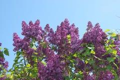 kwitnie lilą wiosnę Zdjęcie Stock
