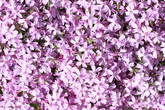 kwitnie lila Fotografia Royalty Free