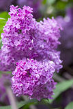 kwitnie lile purpury zdjęcie royalty free