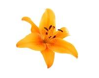 kwitnie liliy pomarańcze obraz stock