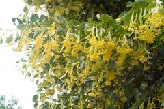 Kwitnie lipowego kwitnącego na drzewie kwiecistym Zdjęcie Royalty Free