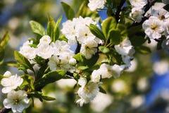 Kwitnie śliwki Fotografia Stock