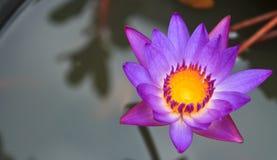 kwitnie lotosowe purpury Obraz Stock
