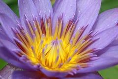 kwitnie lotosowe purpury Obraz Royalty Free