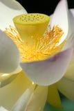 kwitnie lotosu świętego Zdjęcia Royalty Free