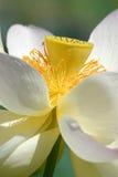 kwitnie lotosu świętego Fotografia Stock